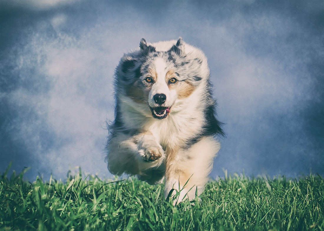 Australian Shepherd running towards camera