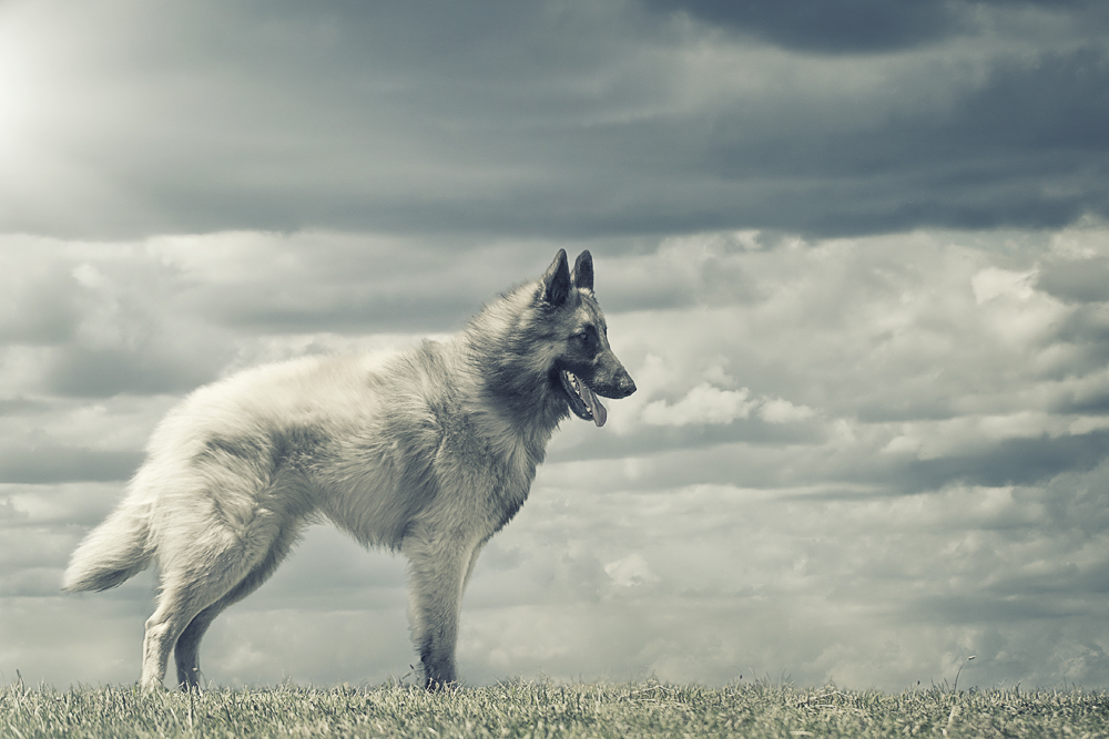 Belgian Tervuren with cloudy sky