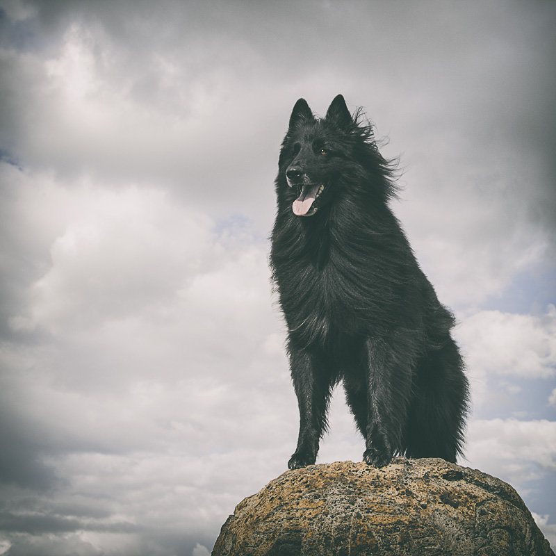 WolfCub Belgian Shepherd heroically standing on a rock