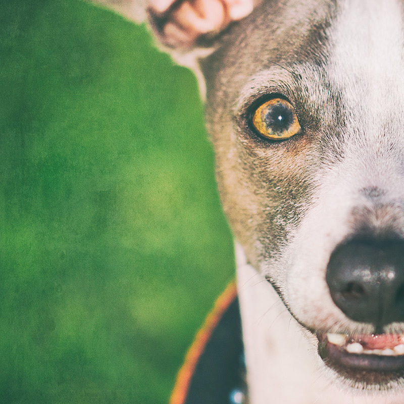 Archie the Italian Greyhound