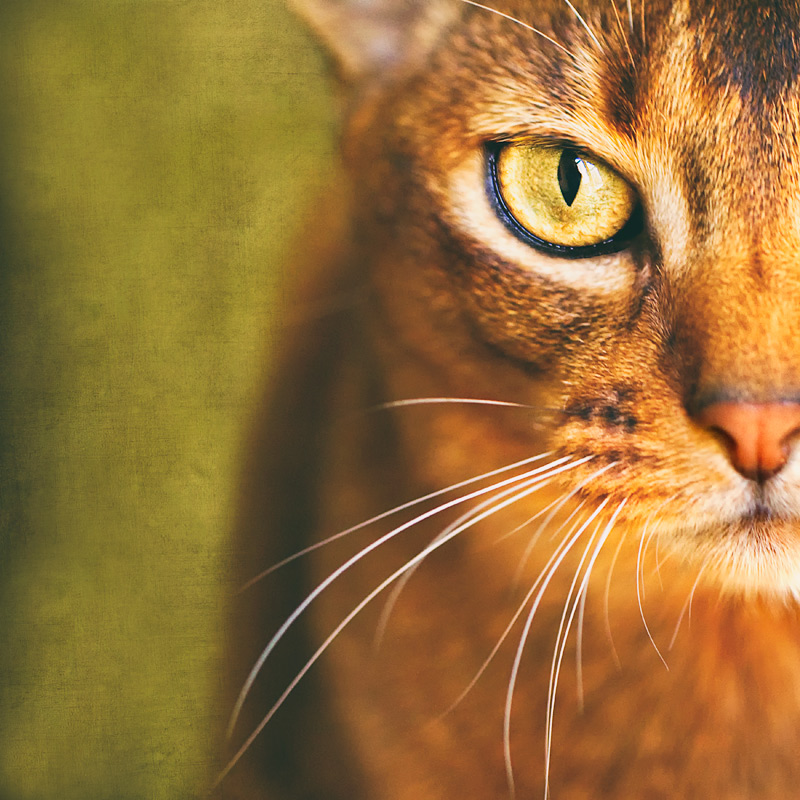Gina-the-Abyssinian-cat