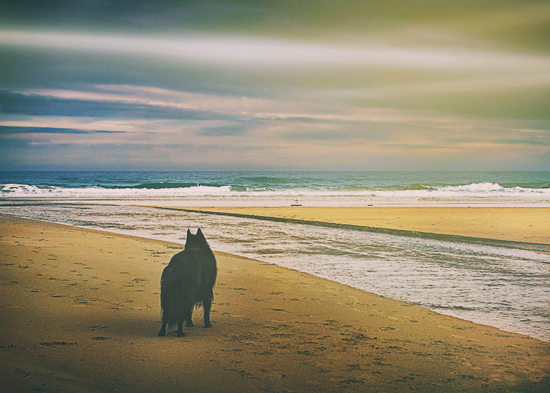Dog at the beach looking out to sea