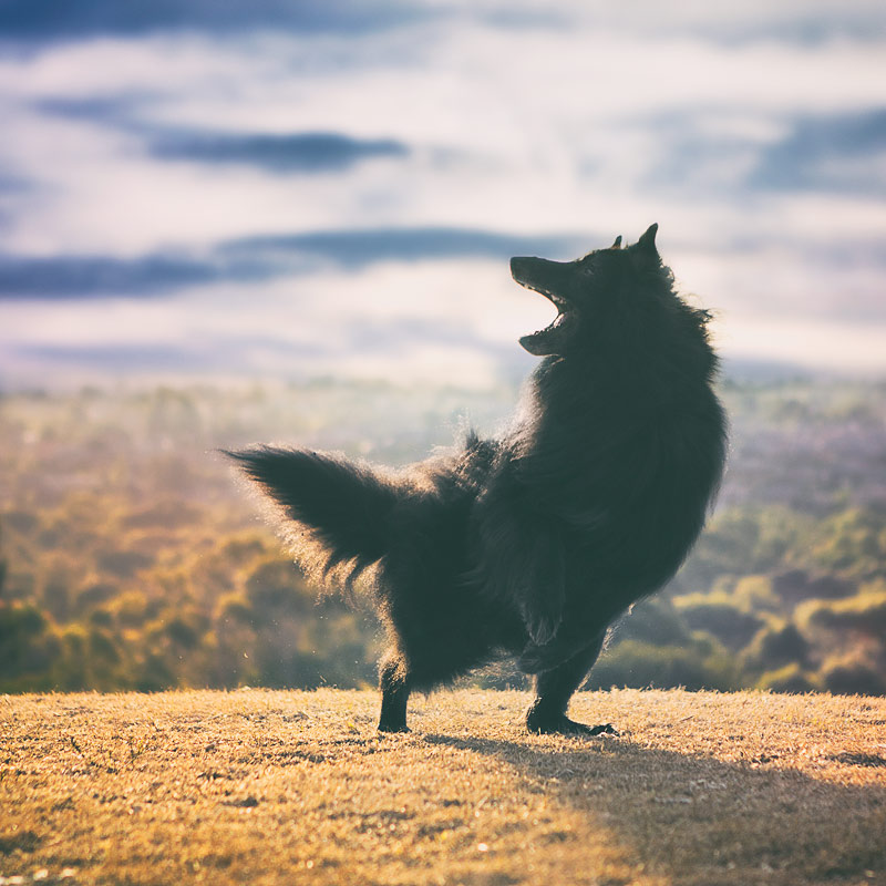 Belgian Shepherd WolfCub dancing on hill top