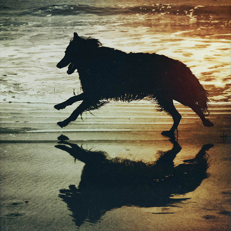 Belgian Shepherd running at beach with reflection