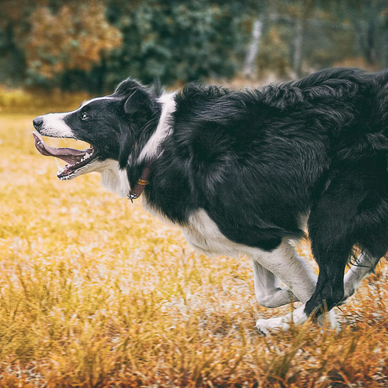 Border Collie running flat out
