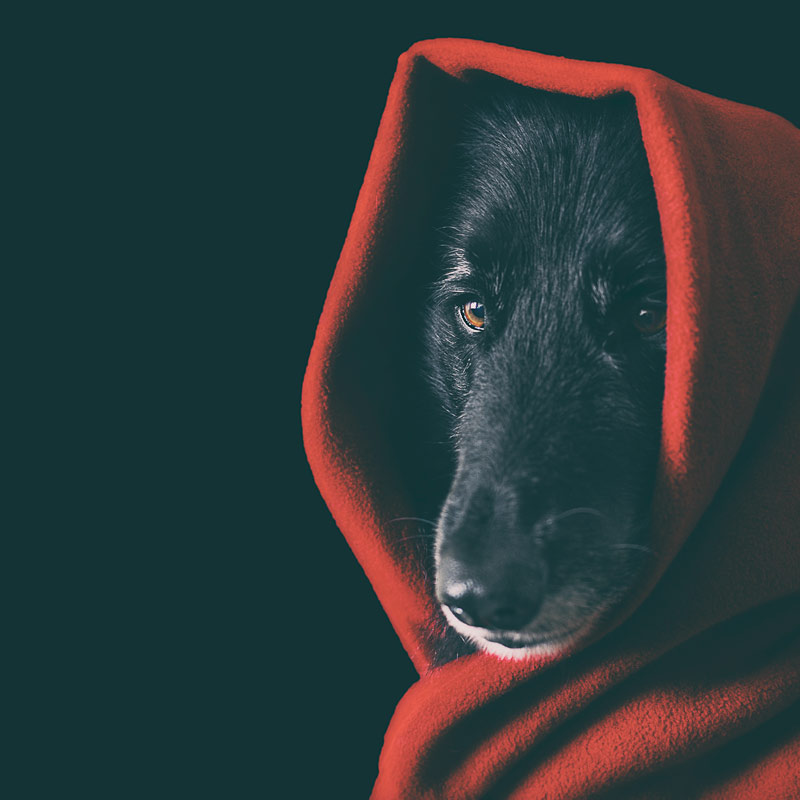 Dog dressed as Little Red Riding Hood