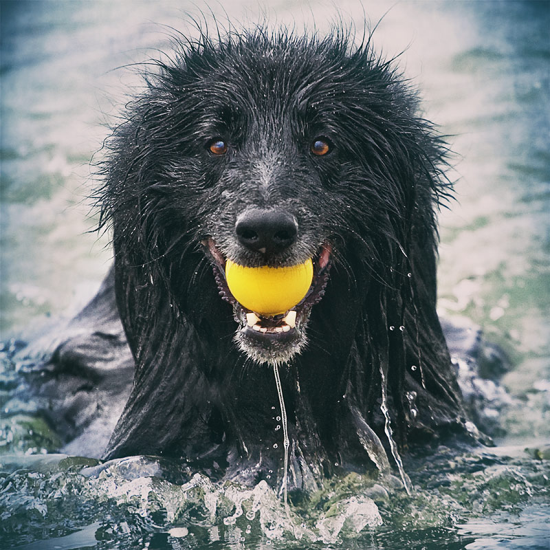 Dog in water with ball in mouth