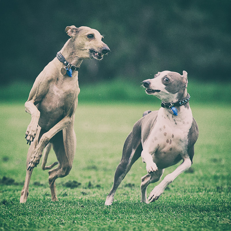 Two Italian Greyhounds running side by side