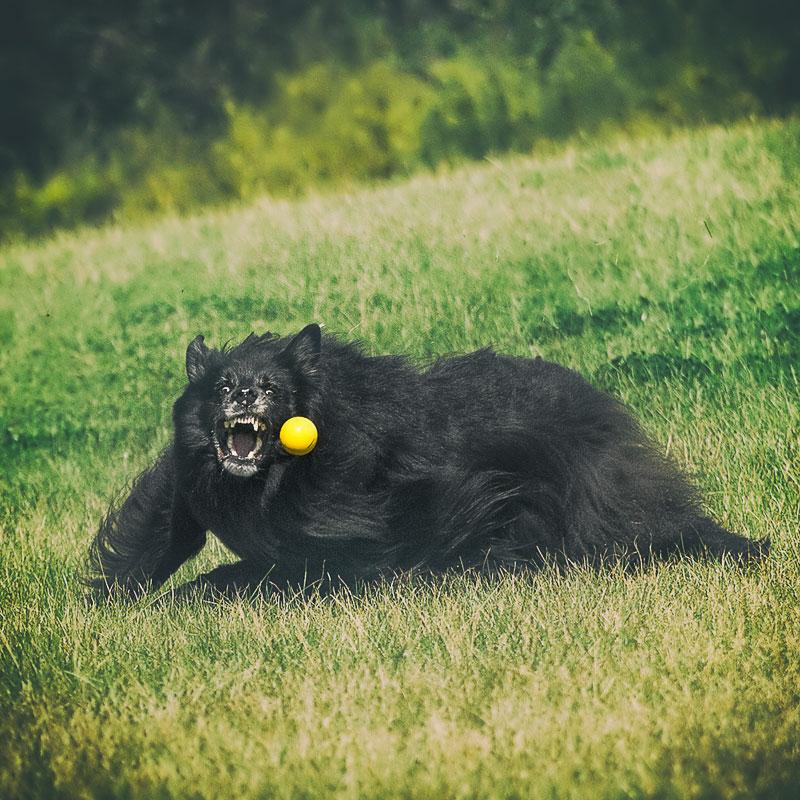 Belgian Shepherd with ferocious expression catching a ball