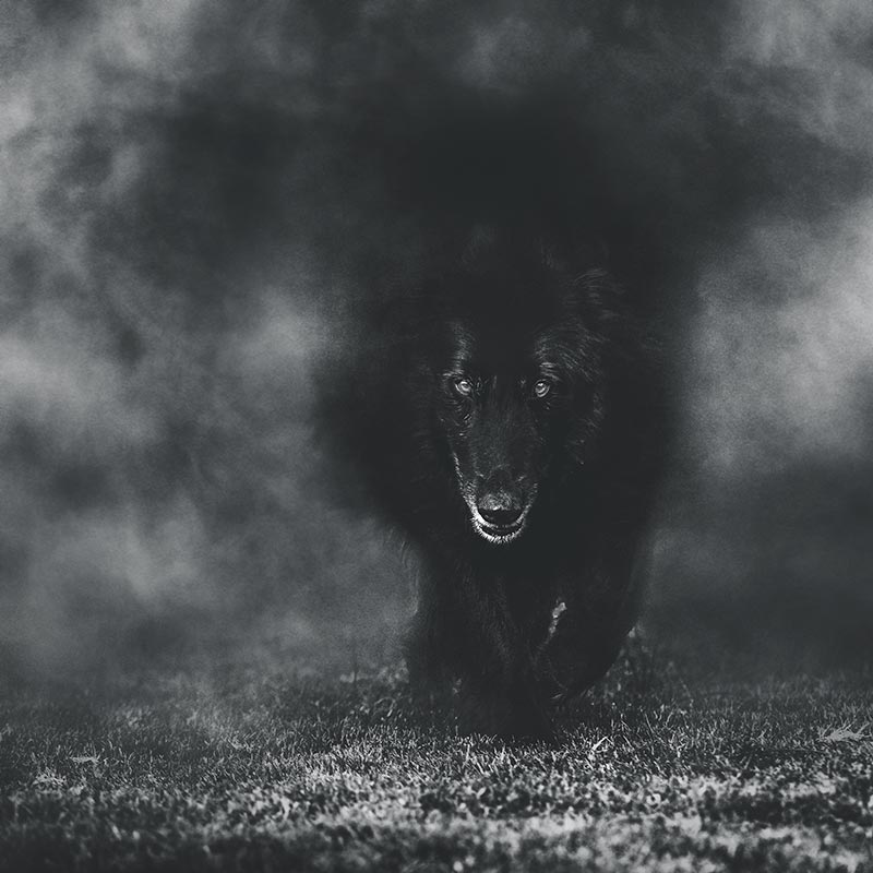 Belgian-Sheepdog-emerging-from-fog