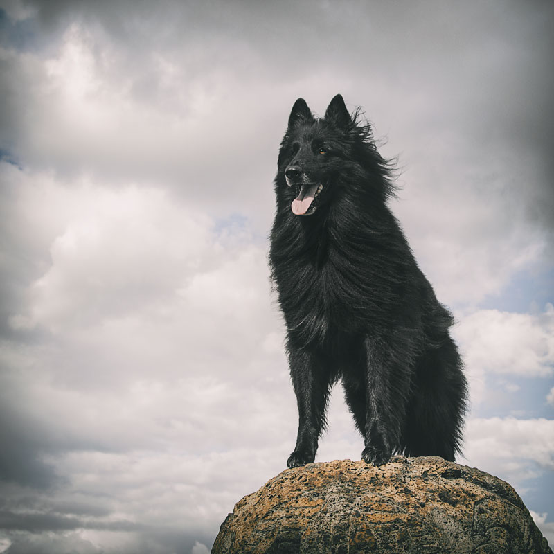 Belgian-Sheepdog-on-a-rock