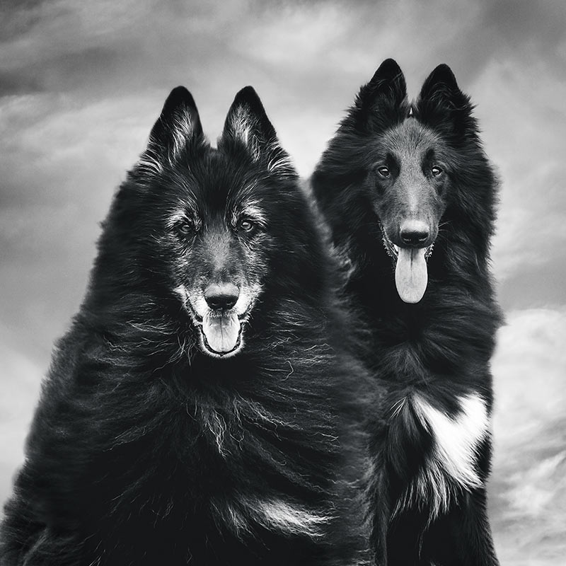 Belgian Shepherds WolfCub and Phoenix