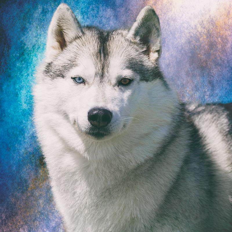 Husky-portrait