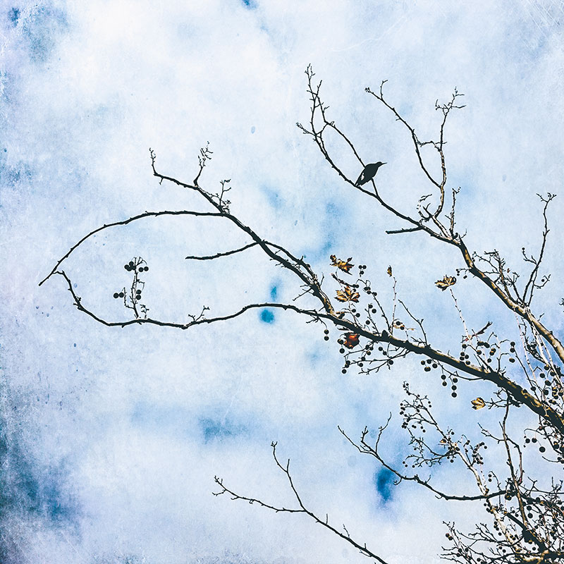 Magpie-perched-in-winter-branches