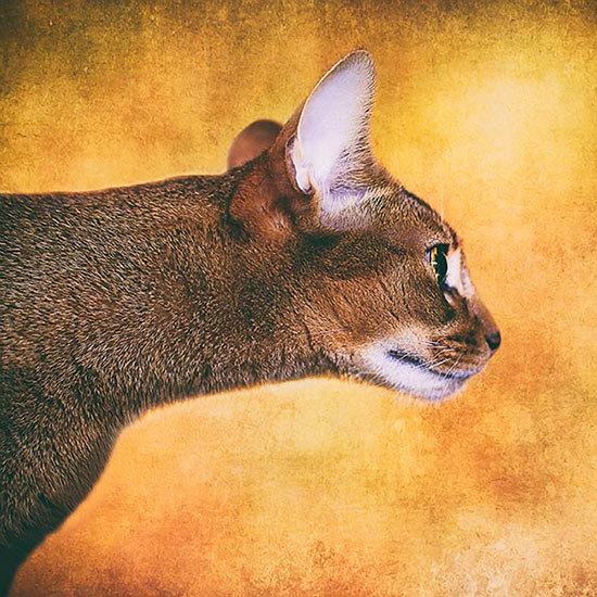 Abyssinian-cat-with-outstretched-neck-