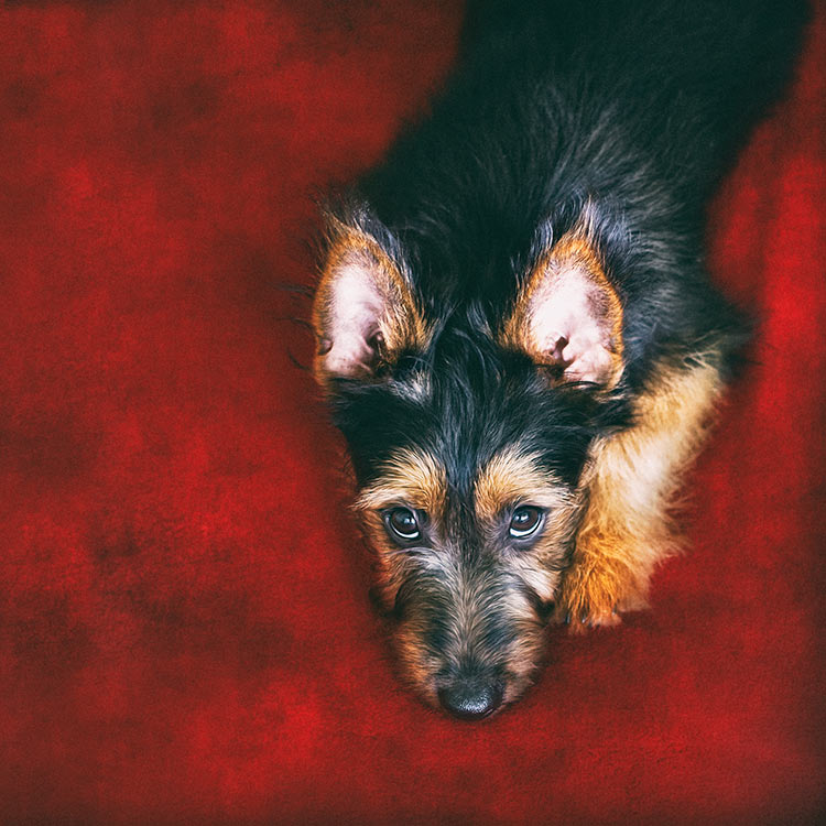 Aussie-Terrier-on-red-background