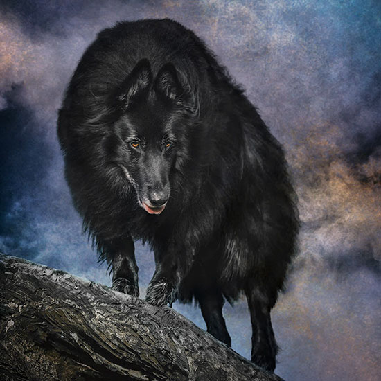 Belgian-Sheepdog-on-a-log-ready-to-pounce-Edit