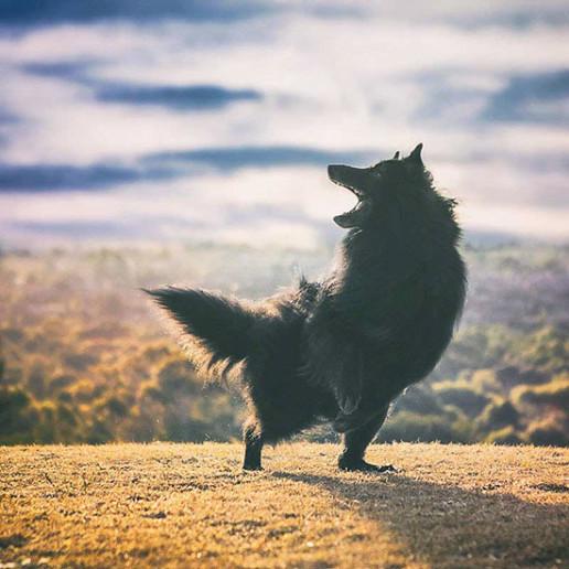 Belgian-Shepherd-dancing