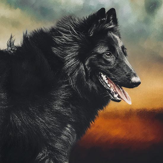 Belgian-Shepherd-portrait