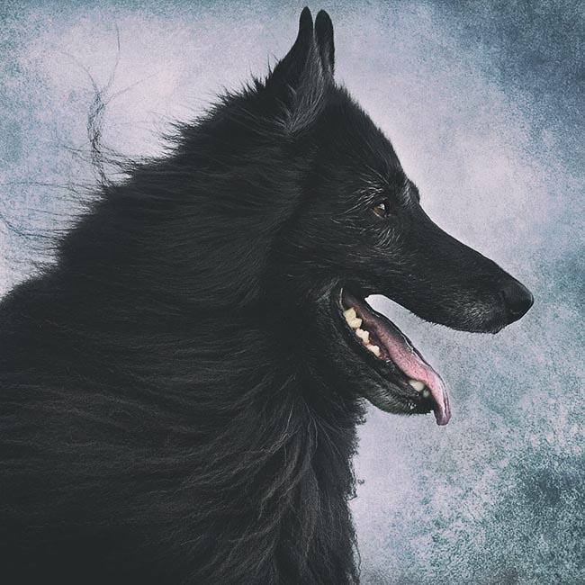 Belgian-Shepherd-profile