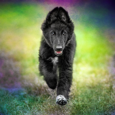 Belgian Shepherd puppy running