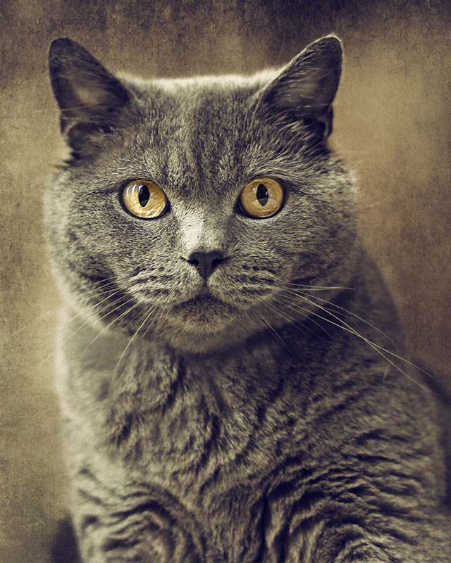 British shorthair-with-textured-background