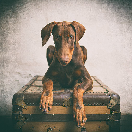 Doberman-puppy-sitting-on-a-suitcase-