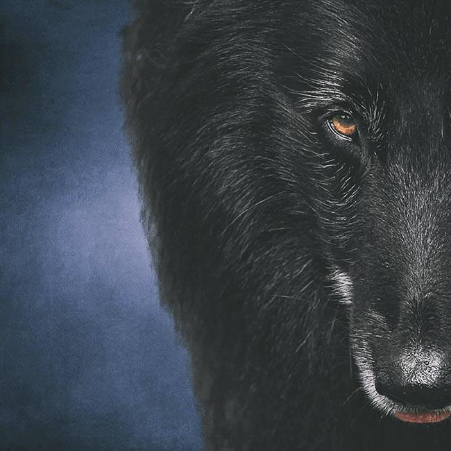 Half-face-portrait-of-Belgian-Shepherd-