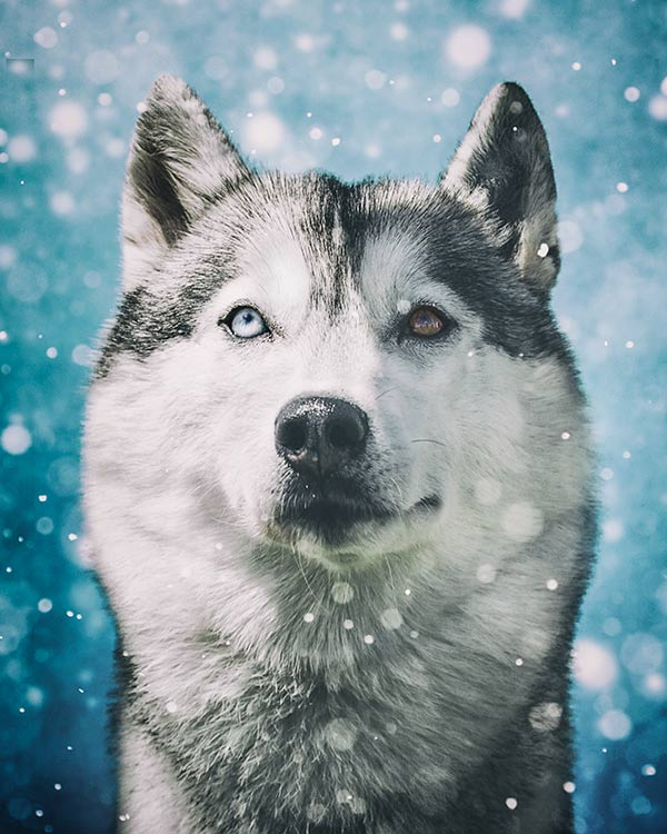 Husky-portrait-in-the-snow