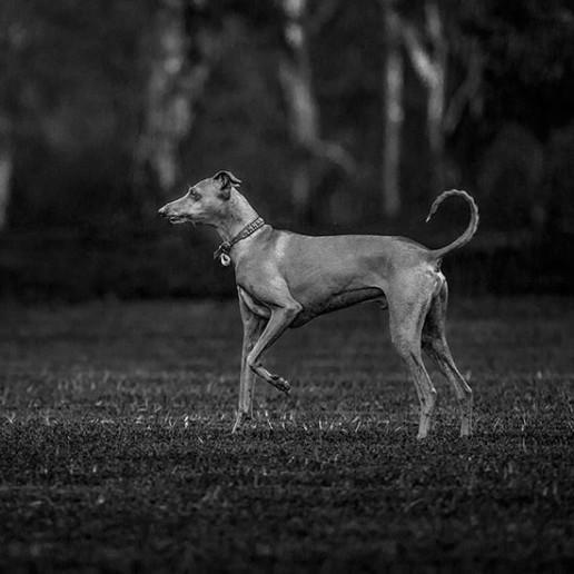 Italian-greyhound-posing-