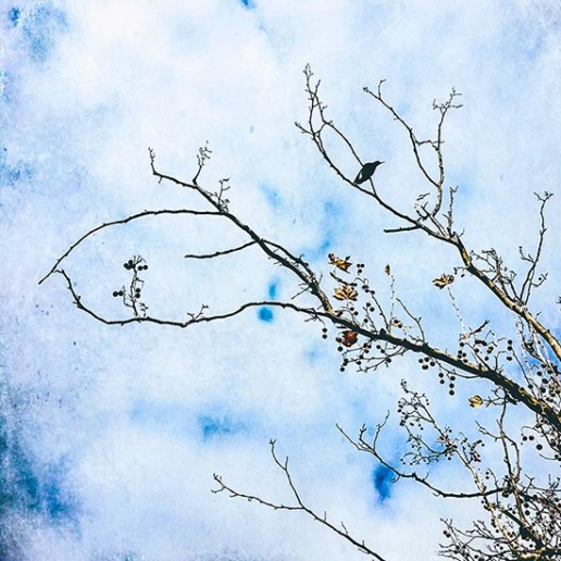 Magpie-perched-in-winter-branches-