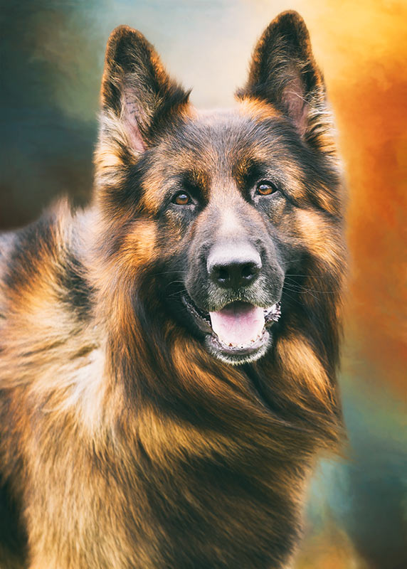 Portrait-of-a-German-Shepherd-Dog