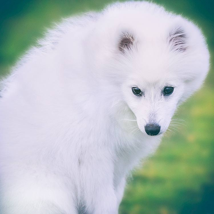Portrait-of-a-Japanese-Spitz