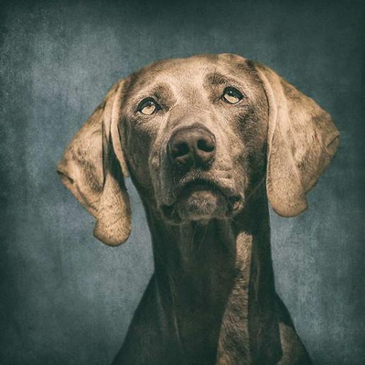 Portrait-of-a-Weimaraner-