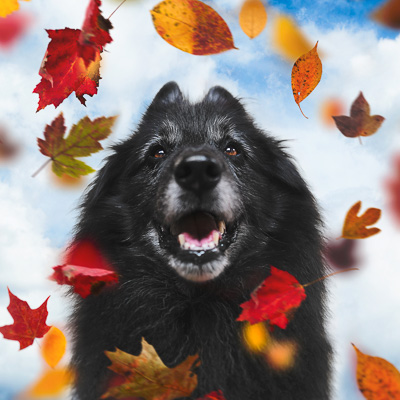 belgian shepherd in autumn with falling leaves