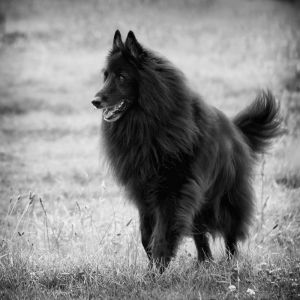 Belgian Sheepdog with flowing fur.jpg