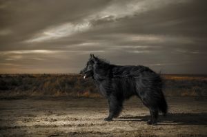 Belgian Shepherd in sunset light with dramatic sky.jpg