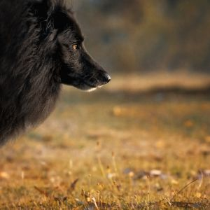 Profile of Belgian Sheepdog WolfCub as the sun sets.jpg