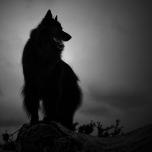 Silhouette of WolfCub Belgian Sheepdog against the sky.jpg