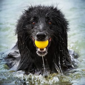 Smiling dog in water with a yellow ball .jpg