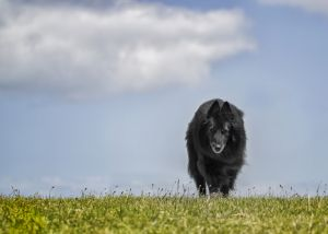 WolfCub Belgian Sheepdog against sky and grass.jpg