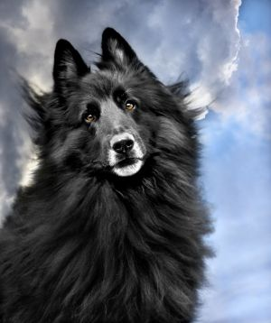WolfCub Belgian Sheepdog looking angelic against the sky.jpg