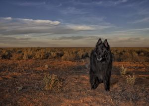 WolfCub in arid bush with golden light.jpg