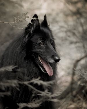 c15-Portrait of WolfCub Belgian Sheepdog in forest.jpg