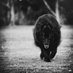 c81-Belgian Sheepdog on the prowl.jpg