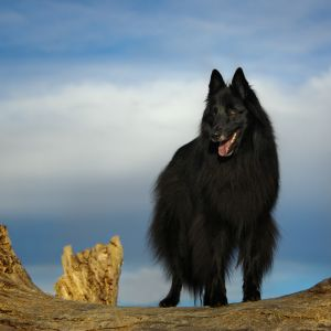 c87-Belgian Sheepdog on a log.jpg