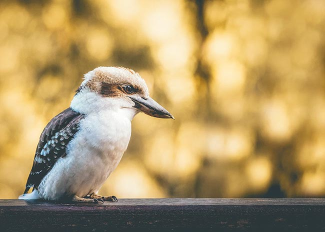 kookaburra-sitting-on-rail-