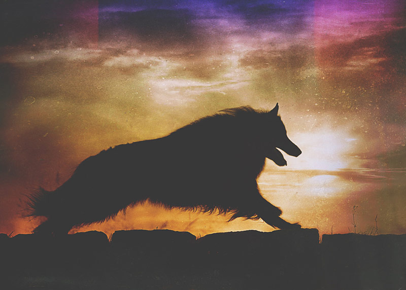Belgian Shepherd running with sunset sky