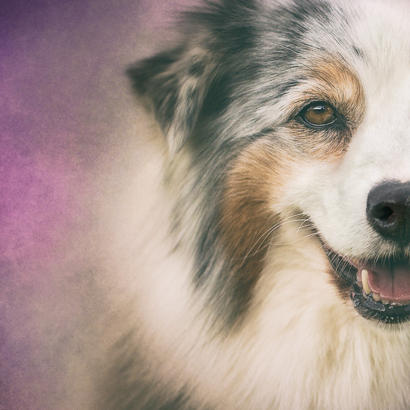 Bella the Aussie Shepherd