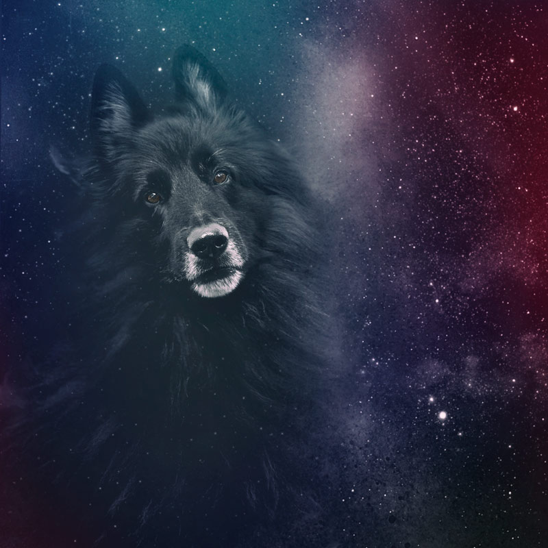 Belgian Shepherd against a starry sky